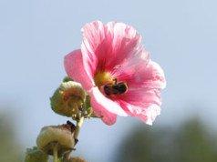 Stockrosen vermehren – So einfach ziehen Sie sich neue Pflanzen heran