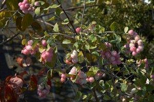 Blütenstand der Amethystbeere