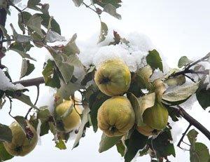 birnbaum im topf berwintern so schafft es der baum gut ber den winter. Black Bedroom Furniture Sets. Home Design Ideas