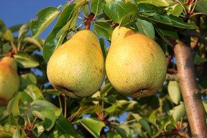 Birnbäume gedeihen auch im Kübel