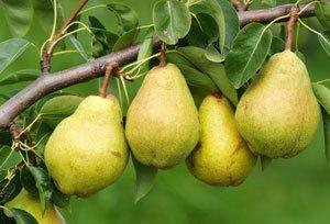 Birnbäume lassen sich leicht vermehren