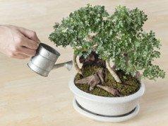 Bonsai gießen - 6 Tipps für gesunde Bäumchen