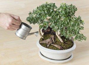 bonsai gie en 6 tipps zu zeitpunkt menge technik. Black Bedroom Furniture Sets. Home Design Ideas