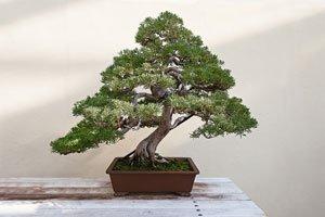 bonsai krankheiten und sch dlinge erkennen und bek mpfen. Black Bedroom Furniture Sets. Home Design Ideas