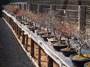 Bonsai verliert alle Blätter: Ursachen & Behandlungstipps
