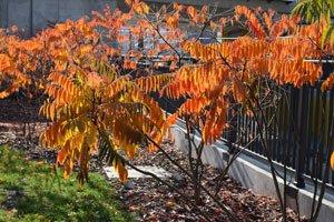Essigbaum aus dem Garten entfernen -