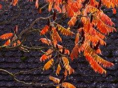 Essigbaum pflanzen - Tipps zu Standort und