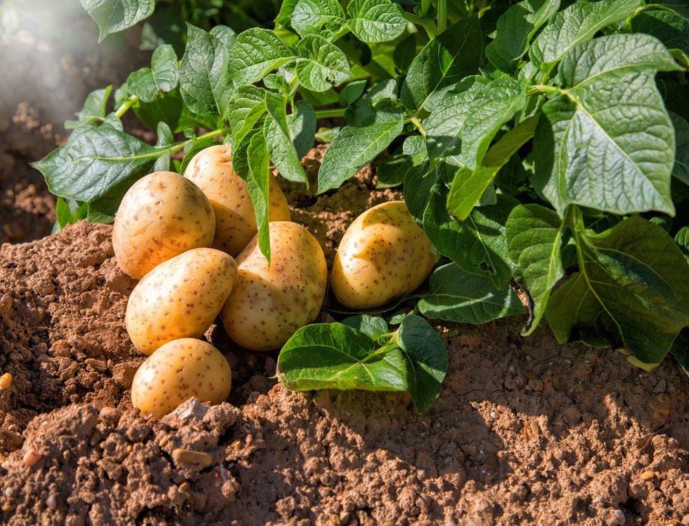 Kartoffeln gießen