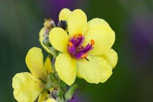 Königskerzen blühen nicht nur gelb