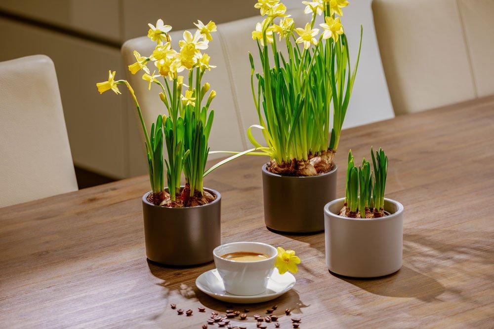 Narzissen im Topf anpflanzen – So gedeihen sie auch in der Wohnung prächtig