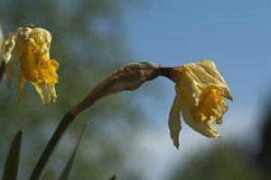 Auch der Narzisse können Krankheiten und Schädlinge zu schaffen machen