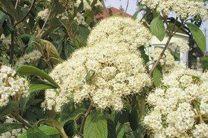 Blüte des Runzelblättrigen Schneeballs