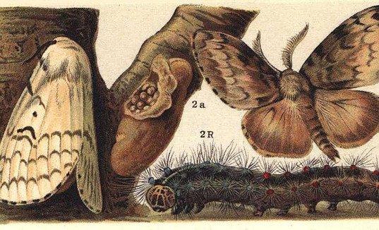 Familie des Schwammspinners