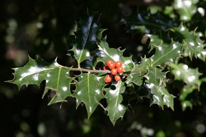 zweig der Stechpalme mit Früchten
