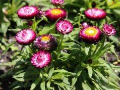 Strohblumen überwintern