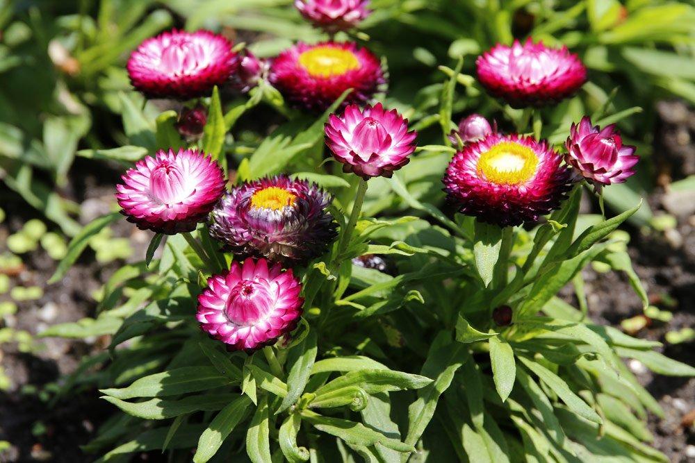 Strohblumen vermehren