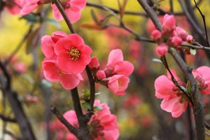 Blühender Zweig der Zierquitte
