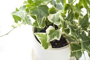 Efeu kann auch als Zimmerpflanze gehalten werden