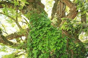 Efeu schadet Bäumen nicht