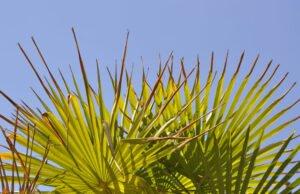 Fächerpalme bekommt braune Blätter