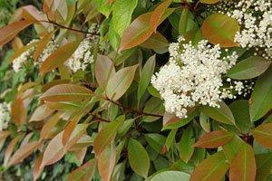 Glanzmispeln werden über die Beeren vermehrt