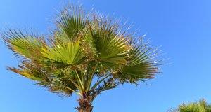 Hanfpalme bekommt braune Blätter – Ursachen und Behandlungstipps