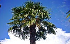 Hanfpalmen in den Garten pflanzen - So fühlt sich die asiatische Palmenart wohl