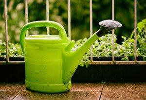 Hanfpalme gießen und düngen – Danach richtet sich der Bedarf bei Kübelpalmen