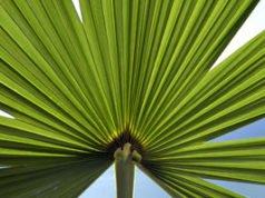 Hanfpalme: Krankheiten und Schädlinge erkennen und bekämpfen