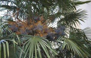Hanfpalme vermehren