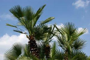 Hanfpalme vermehren – So gelingt die Aussaat durch Samen