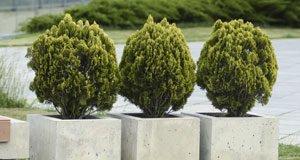 Koniferen im Kübel anpflanzen - Tipps zu Anbau und Pflege