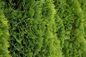 Koniferen pflanzen - Tipps zum Anbau und dem richtigen Zeitpunkt