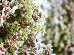 Koniferen überwintern – So überstehen auch Jungpflanzen die Winterzeit