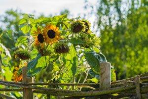Sonnenblumen: Krankheiten und Schädlinge erkennen und bekämpfen