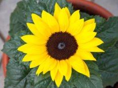 Sonnenblume als Topfpflanze ziehen – Tipps für den Sommer in der Wohnung