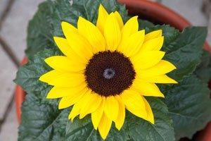 Sonnenblume Als Topfpflanze Ziehen ? Tipps Zu Topfgröße, Aussaat ... Gemuse Im Blumentopf Tipps Pflege