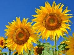 Sonnenblumen: Verschiedene Sorten und deren Eigenschaften vorgestellt