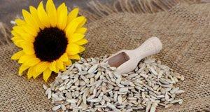 Sonnenblumenkerne ernten -