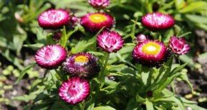 Strohblumen: Krankheiten und Schädlinge