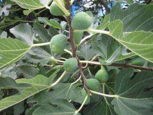 Feigenbäume lassen sich auch umpflanzen