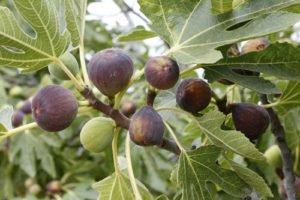 Feigenbäume lassen sich nicht nur durch Samen vermehren
