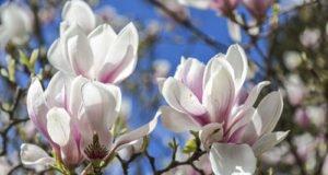 Magnolie unterpflanzen – Die passenden Begleiter für ein anspruchsvolles Gehölz