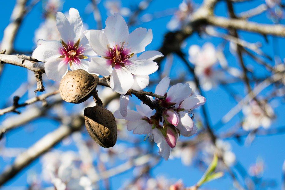 Mandelbäuchen über Mandeln vermehren