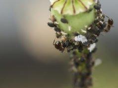Mohn: So erkennen und bekämpfen Sie Schädlinge und Krankheiten