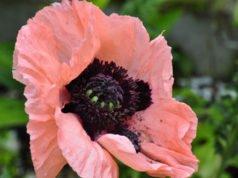 Mohn: Das sind die schönsten Sorten für den Garten