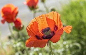 Mohn vermehren – 3 erfolgreiche Methoden vorgestellt