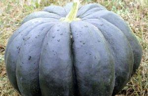 Muskatkürbis pflanzen - Tipps zu Anbau und Pflege