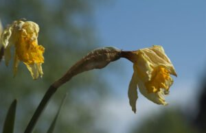 Narzissen: Krankheiten und Schädlinge