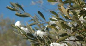 Olivenbaum überwintern - Tipps